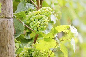 Der Riesling – facettenreicher Liebling aus deutschen Weinlagen