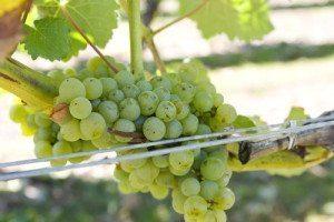 Fruchtig, grün und herrlich erfrischend: der Sauvignon Blanc auf Weltreise
