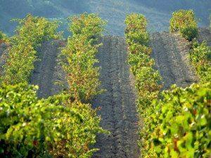 Die Weinregion Languedoc - Südfrankreich lockt anspruchsvolle Genießer